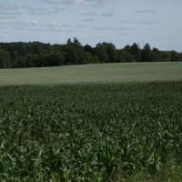 Кукурузные просторы. Агрофирма-Катынь.