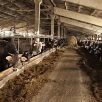Агрофирма-Катынь. Коровы в зимний стойловый период
